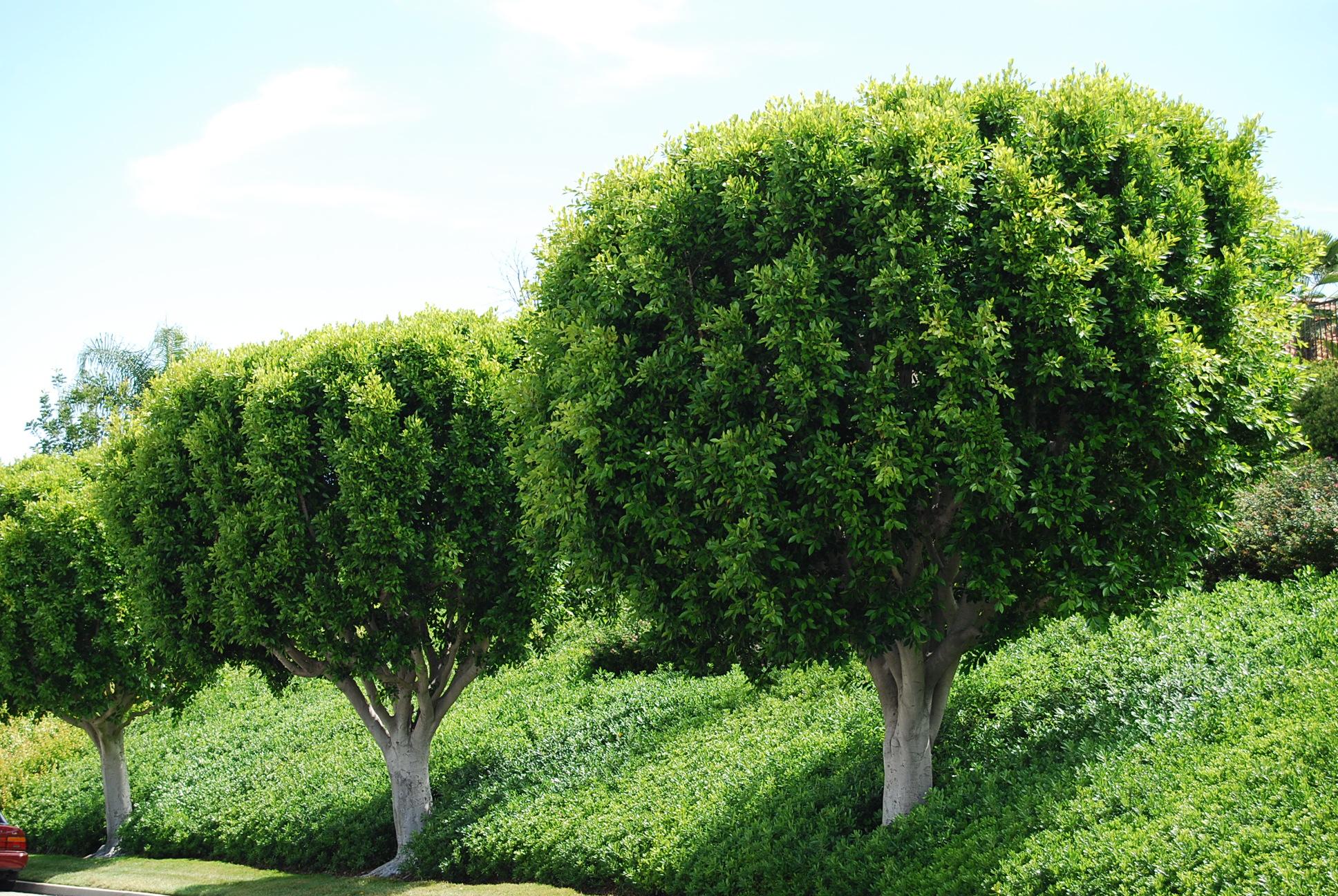 Ficus along Tindaya